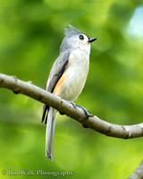 4 Tufted Titmouse (03 2015)