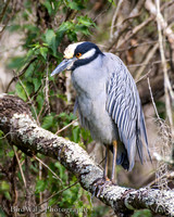 7 Yellow-crowned Night Heron (11 2014)