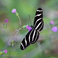 9 Zebra Longwing Butterfly (12 2016)