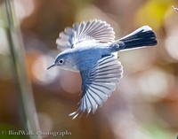 1 Blue-gray Gnatcatcher (09 2018)