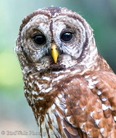 1 Barred Owl (06 2014)