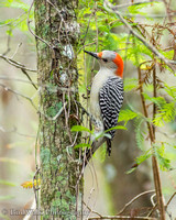 5 Red-bellied Woodpecker (11 2014)