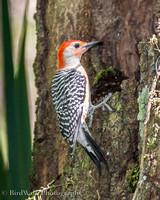 14 Red-bellied Woodpecker 9 (09 2014)
