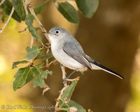 19 Blue-gray Gnatcatcher (02 2020)
