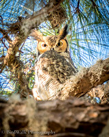 14 Great Horned Owl (12 2016)