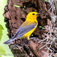 Prothonatary Warbler 2 (07 2017)